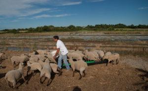 Éco-pâturage sur les marais salants - visite @ Salorge de Rostu | Mesquer | Pays de la Loire | France